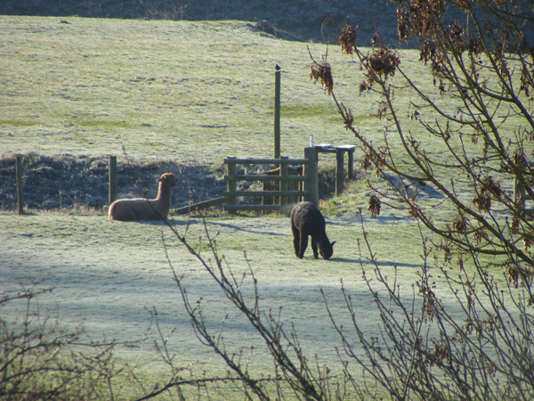Alpacas by the Moat
