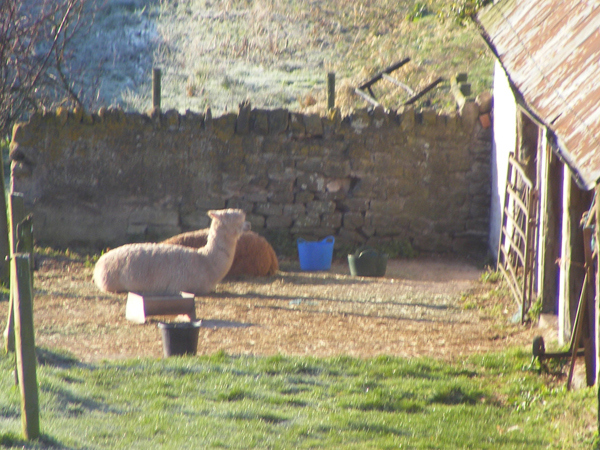 Alpacas by the Bothy
